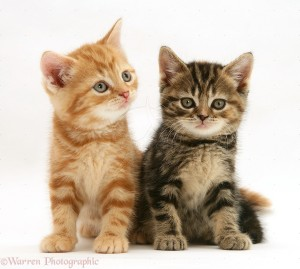British Shorthair red tabby and tabby-tortoiseshell kittens